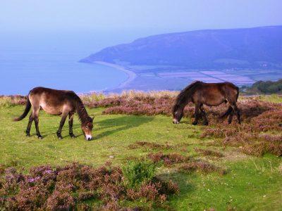 Exmoor Ponies on the Exmoor Coast